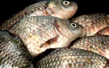 River fish  crucian ( carp )