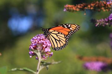 Monarch Butterfly Feeding On Butterfly Bush