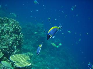 Weißkehldoktorfische am Riff