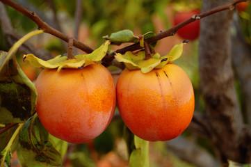 Kaki tree branch with ripe fruits