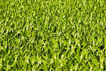 Green wheat or barley leaves