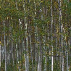 Spoed Foto op Canvas Berkbosje Birkenwald