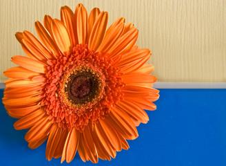 Orange flower on the yellow-dark blue background