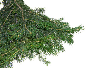 Christmas branch fur-tree  isolated