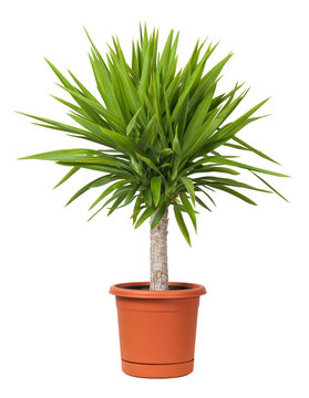 Yucca Potted Plant