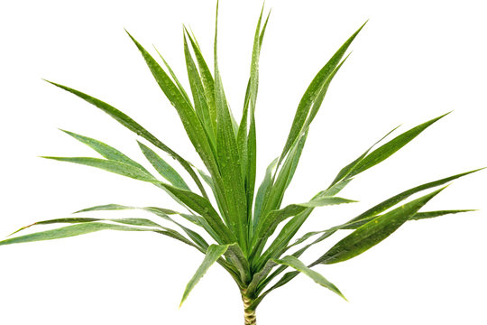 yucca fond blanc