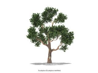 baum eucalyptus