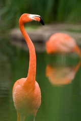 Colorful Flamingo in a pond
