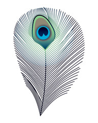isolated peacock feather