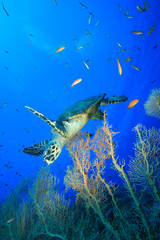 Turtle and Fan Corals