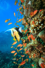Red Sea Bannerfish and Lyretail Anthias on a coral reef