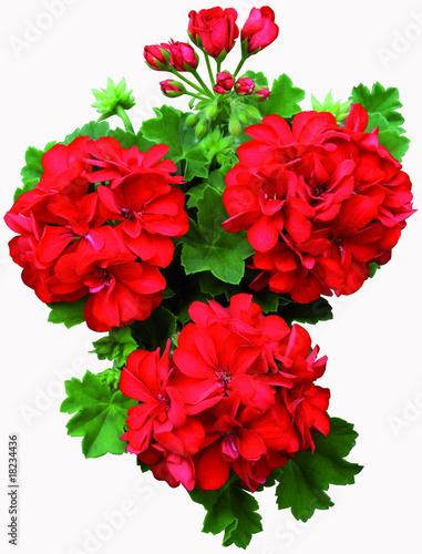 Geranium lierre double rouge photo libre de droits sur - Geranium lierre double ...