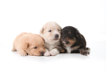 Three Pomeranian Newborn Puppies With Eyes Open
