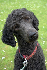 Black Poodle listening to commands