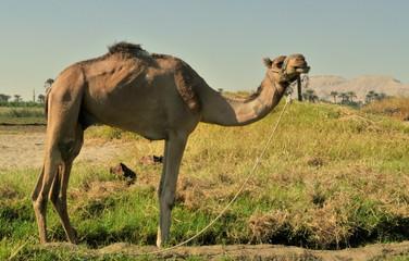 camel dans la vallée des rois