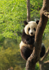 Fotorollo Pandas Cute young panda sitting on a tree en face