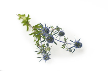 Blooming blue thistle, white background