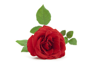 Beautiful red rose with leaves on a white background