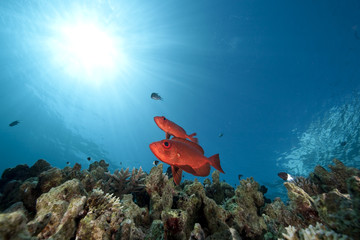 ocean and crescent-tail bigeye