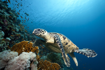 ocean and hawksbill turtle