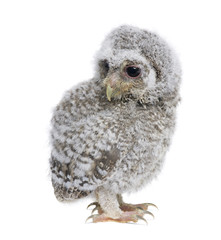 Baby Little Owl, 4 weeks old, in front of a white background
