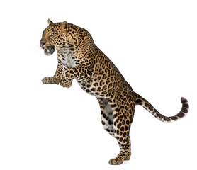Canvas Prints Leopard Leopard, Panthera pardus, in front of white background
