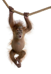 Fototapete - Baby Sumatran Orangutan hanging on rope against white background