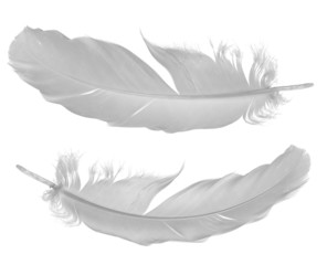 two pigeon feathers on white