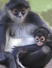 curious spider monkey baby with mother, guatemala