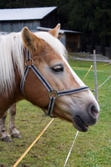 Pferdekopf braun