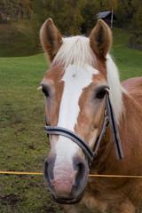Pferdekopf braun 2
