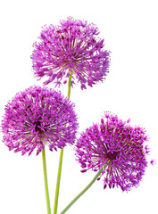 Three Alliums Ornamental Onions
