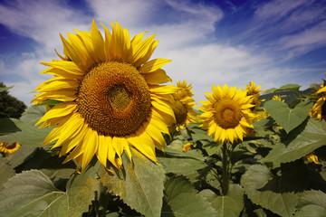 Bugaria Sunflowers