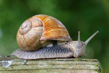 Large garden snail on garden bench
