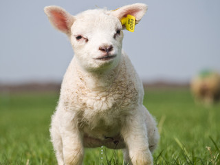 Poster Sheep Lamb