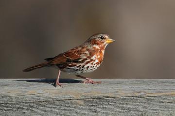Fotoväggar - Fox Sparrow (Passerella iliaca)