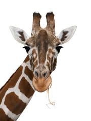 Giraffe auf weiß