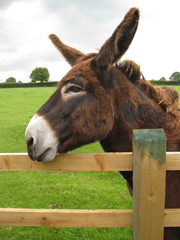 a brown donkey resting on a fence