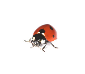 Macro photo of Ladybird isolated on white background.
