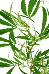 plante cannabis fond blanc