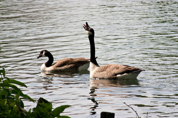Canada goose stretching neck