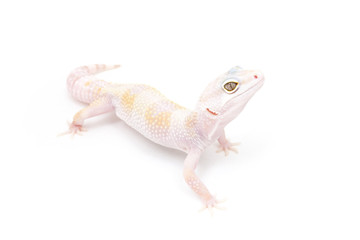 Hypo TUG Snow Leopard Gecko on a white background - Buy this