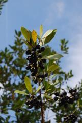ギリシャ・オリーブの木
