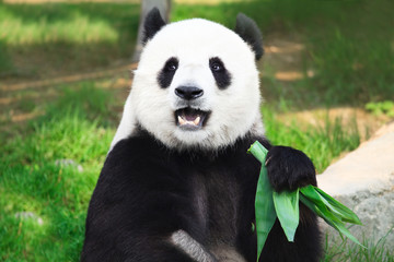 Photo sur Aluminium Panda Giant panda