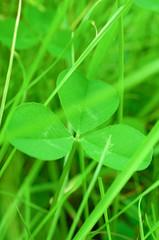 草むらのクローバーの葉