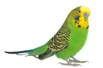 Foto op Canvas Papegaai portrait of budgerigar