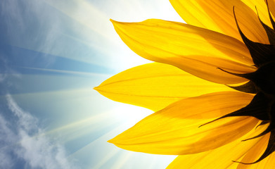 Sunflower in rays of sun over sky background