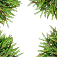 Pine branches isolated on white background