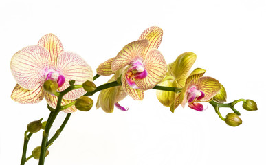 Beautiful yellow and pink orchid isolated on white