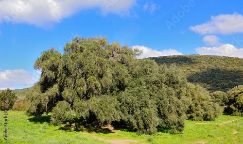Ulivo secolare sardo immagini e fotografie royalty free for Acquisto piante ulivo